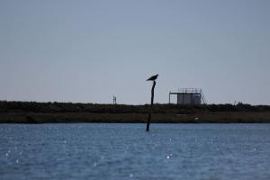 Águila pescadora comiendo
